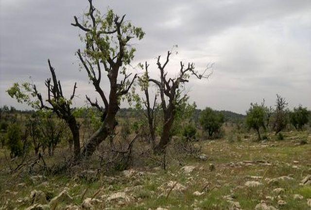 دلیل اصلی خشکیدگی درختان بلوط در استان چیست؟