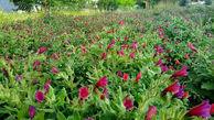 توسعه ۵۰ هزار هکتاری گیاهان دارویی مرتعی در سال جهش تولید