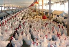 هیچ موردی از  آنفلوآنزای مرغی درقم مشاهده نشدهاست