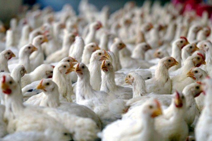 تلف شدن 12 هزار قطعه مرغ در بهاباد یزد فقط در 72 ساعت!