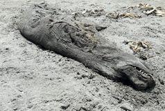 پیدا شدن لاشه یک فک خزری در ساحل شهر رودسر
