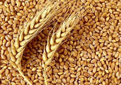 آغاز رسیدگی به پرونده گندم های مفقودی گلستان / سرنوشت نامعلوم بیش از 9 میلیون کیلوگرم گندم