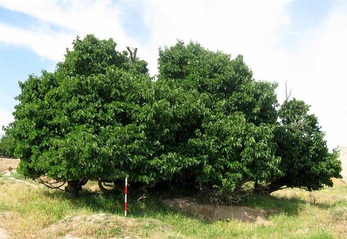 مستندسازی و تهیه پرونده برای 4 درخت کهنسال خراسان شمالی