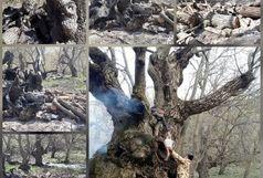 قطع وبه آتش کشیده شدن درخت گردوی 700ساله در لرستان
