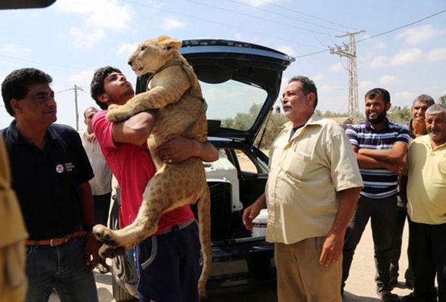 تحویل توله شیرها به باغ وحش توسط نوجوان اهل غزه/ عکس