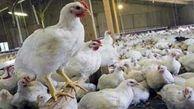 رشد 21.7 درصدی نرخ تورم تولیدکننده واحدهای مرغداری