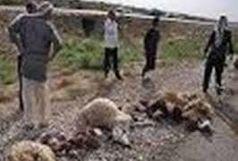 تلف شدن 55 راس گوسفند بر اثر صاعقه در