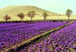 تجربه نخستین کشت زعفران در مهاباد