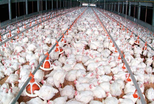 آنفلوآنزا ۹۰ درصد واحدهای مرغداری قم را درگیر کرد