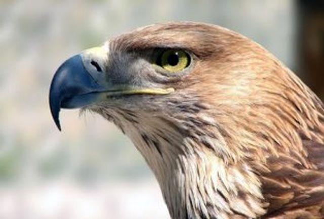 عقاب طلایی از بند شكارچی غیرمجاز رهایی یافت