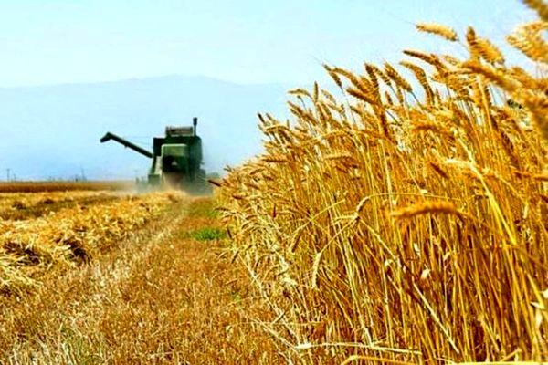 پرداخت بهای گندم ۲ روزه به کشاورزان یزد