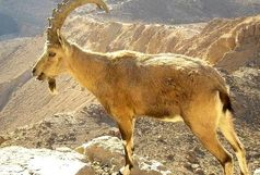 کشف یک راس بز کوهی وحشی در شیراز