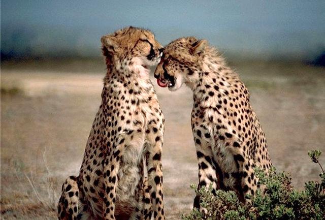 47 یوزپلنگ ایرانی؛ تنها بازماندگان یوزهای آسیایی در دنیا / بارداری یوز ایرانی در اسارت اتفاق نمی افتد