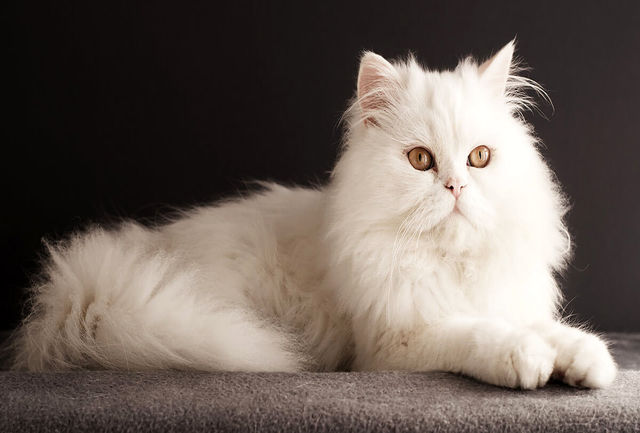 جایزه جنجالی برای یابنده گربه گمشده!+ عکس