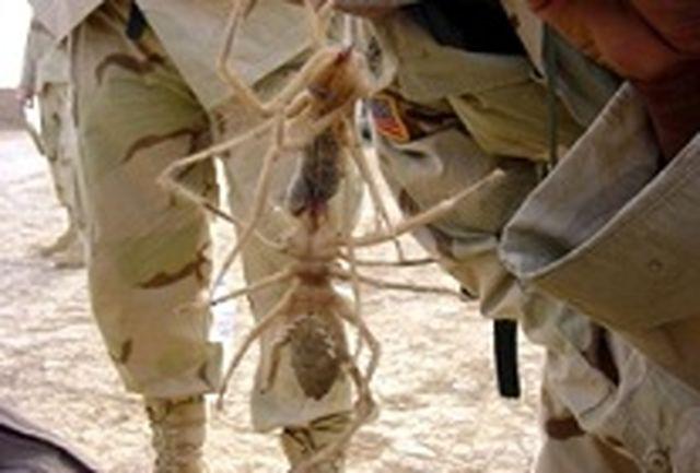 حمله عنکبوت ها به نظامیان خارجی در افغانستان