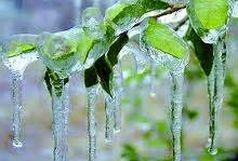 تایید خسارت سنگین سرما به کشاورزی آذربایجانغربی
