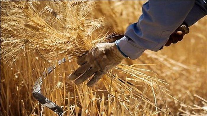 افزایش 10 درصدی تولید گندم در استان همدان/پیش بینی برداشت 750 هزار تن گندم
