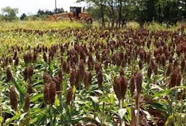 خودکفایی کشور در تولید سورگوم