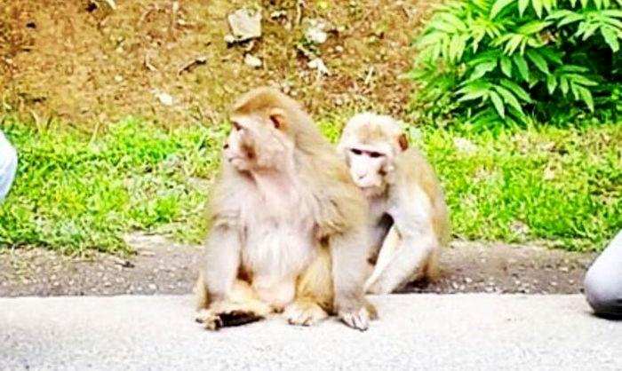 سکته قلبی همزمان 12 میمون از ترس یک ببر!