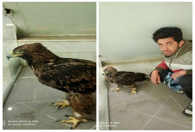 تحویل یک بهله عقاب طلایی نابالغ به اداره حفاظت محیط زیست شهرستان نهاوند