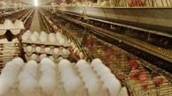 70 تن تخم مرغ غیرقابل مصرف معدوم شد