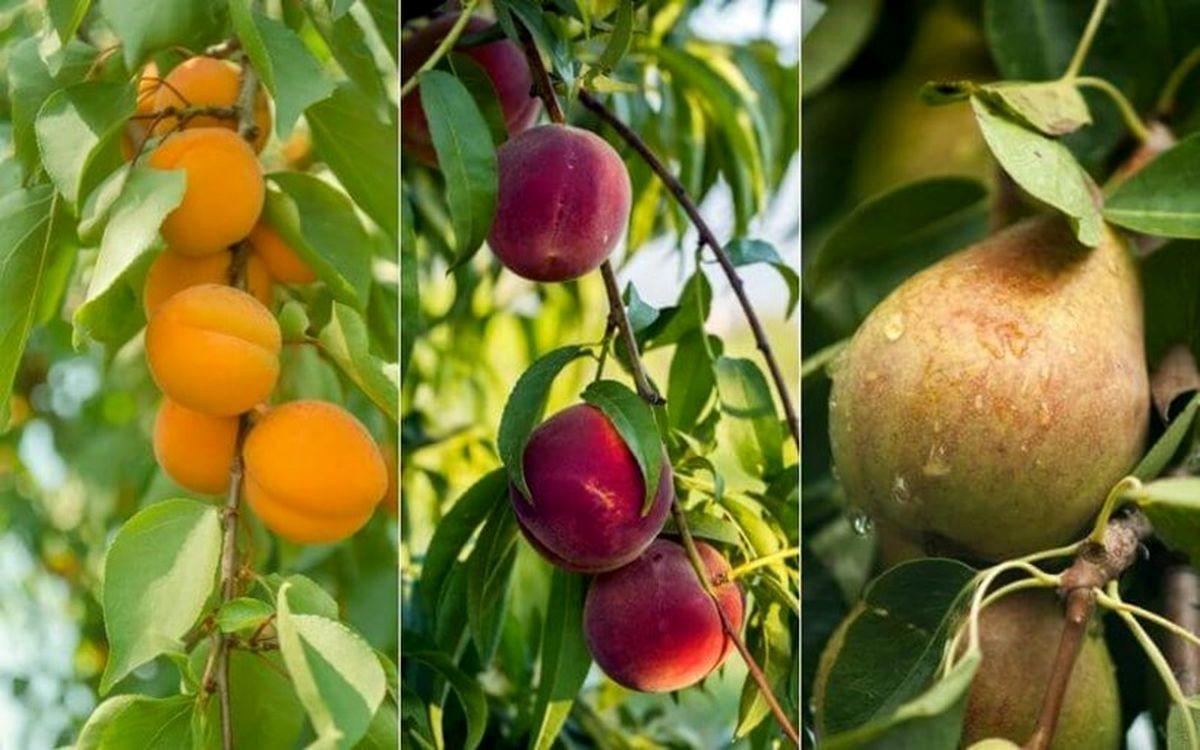 معرفی مناسب ترین ارقام نهال میوه در بیرجند