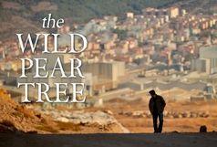 آخر هفته تلویزیون با «درخت گلابی وحشی»