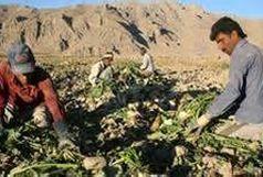 پرداخت صد درصد مطالبات چغندرکاران آذربایجان غربی / کشت نشایی چغندر قند در سطح ۱۰۵ هکتار از مزارع استان
