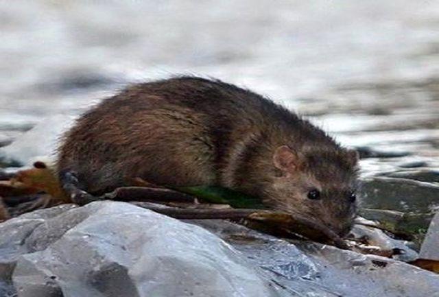 پناهگاه موش ها شناسایی شد