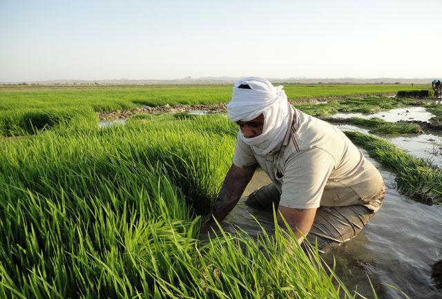 هیچ گونه برنامه حمایتی برای کشت برنج در ایلام نداریم