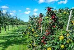 آغاز برداشت میوه به از باغات آذربایجانغربی