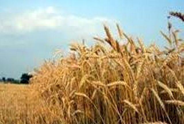 لزوم رعایت تاریخ کشت مناسب و آبیاری پاییزه غلات / تحقق ۵۹ درصدی کشت گندم پاییزه در آذربایجانغربی