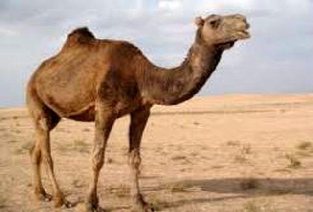 کشف 25 نفر شتر قاچاق با پلاک های جعلی در سراوان