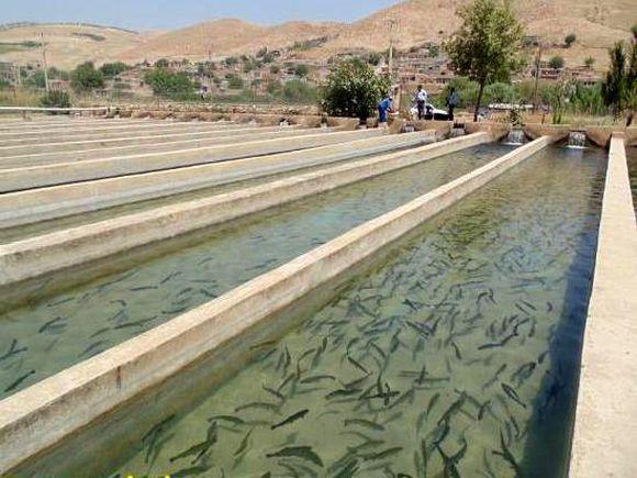 تولید سالانه 40 تن ماهی قزل آلا توسط یک سیروانی + تصاویر
