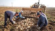 پیش بینی تولید ۷ میلیون تن چغندرقند در سال زراعی جاری