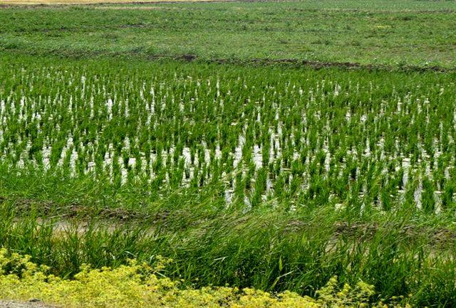 ممنوعیت کاشت محصولات آبدوست در لرستان