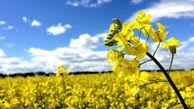 پیش بینی برداشت نزدیک به ۴ هزار تن  دانه روغنی کلزا از مزارع آذربایجانغربی