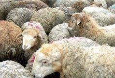کشف 42 راس گوسفند قاچاق در ممسنی