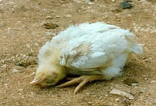 ماجرای چرخ کردن مرغهای پاک نکرده چیست؟ + فیلم