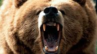 حمله خرس خشمگین به مرد پیرانشهری