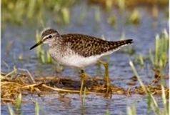 45 گونه پرنده آبزی در استان شناسایی شد