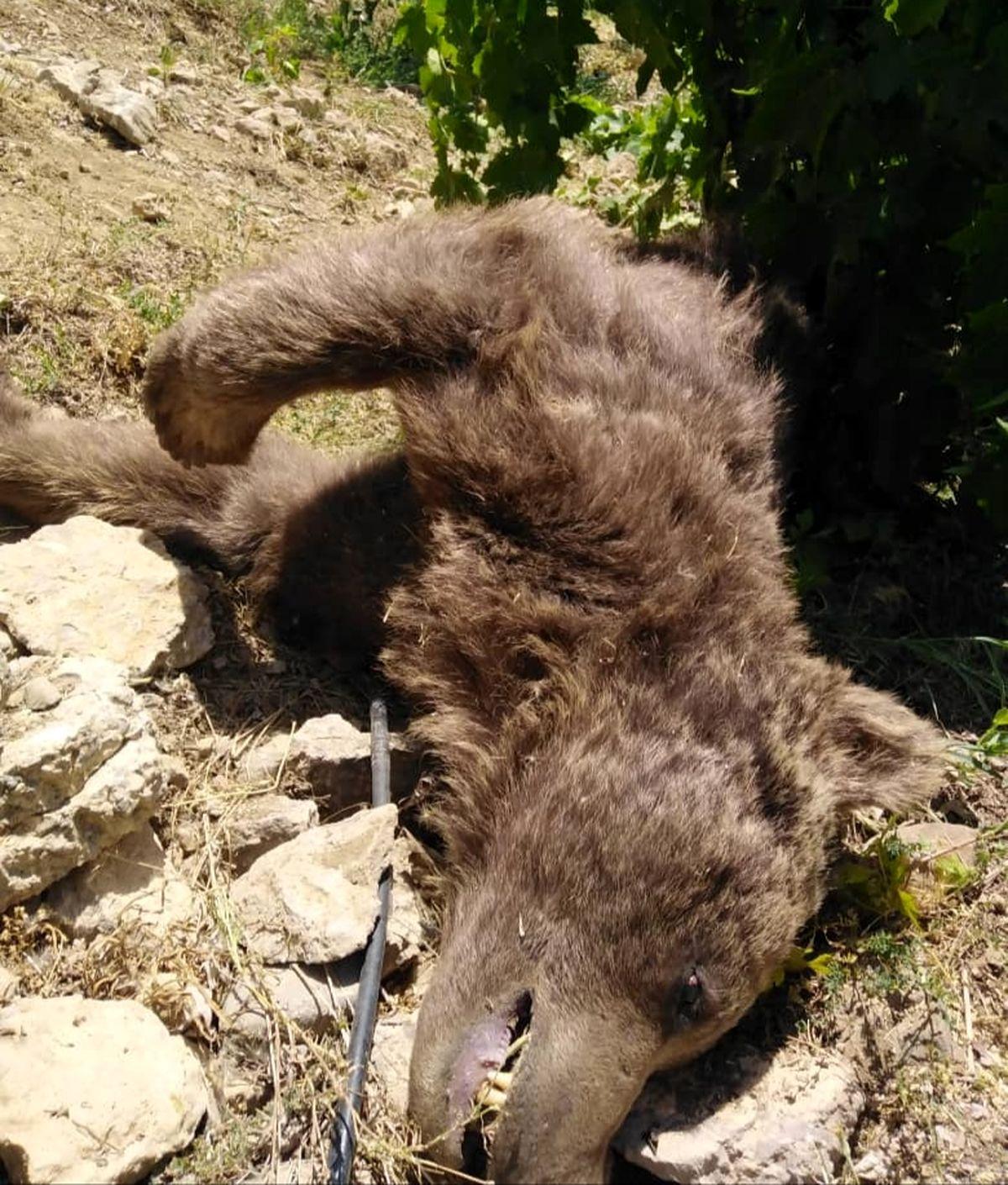 پیدا شدن لاشه یک قلاده خرس در باغ انگور کوه گل دنا