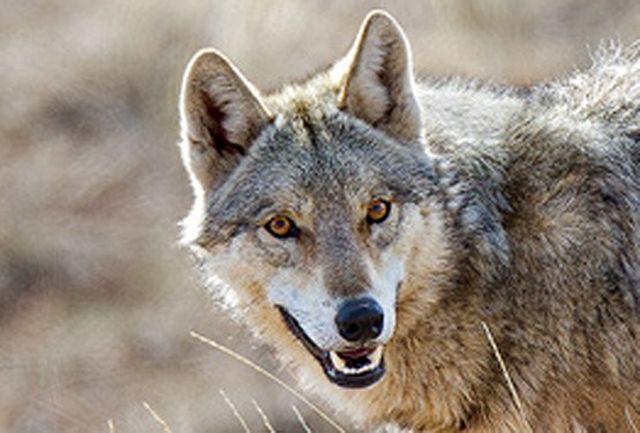 گرگ های گرسنه 4 مرد را دریدند