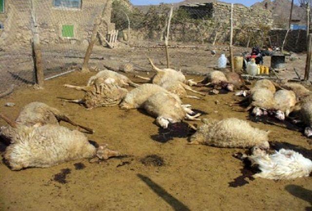 گوسفندان در حمله گرگ تلف شدند