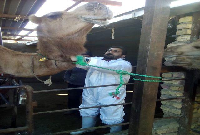 خونگیری از واحدهای پرورش شتر در قاینات