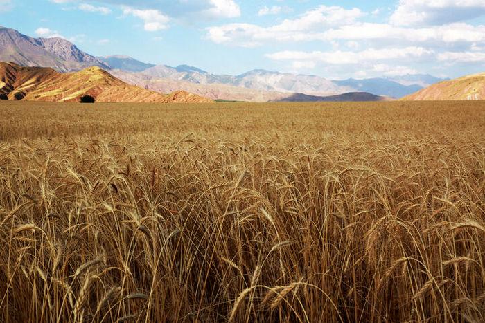 ناامیدی دلالان برای خرید گندم / بازگشت امید به کشاورزان کردستان