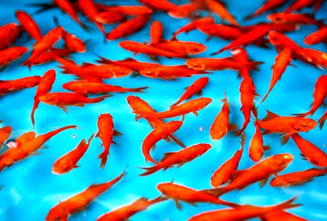 ماهی قرمزها را بیشتر بشناسیم