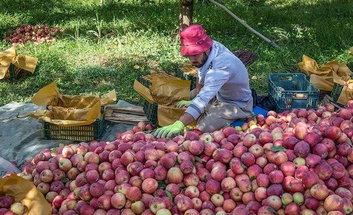 لغو سفر تاجران ویتنامی برای خرید سیب ارومیه