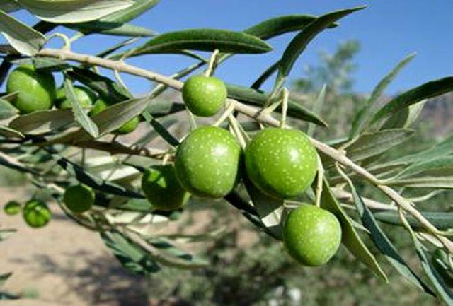 تولید انبوه زیتون در زابل/ ۴۰۰ نهال زیتون در دانشگاه زابل کاشته شد