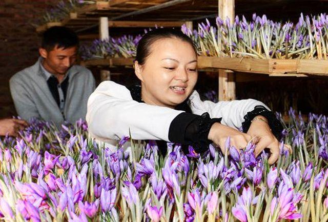 گزارش تصویری از زعفران چینی